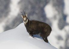 Maraudage nature sur le front de neige
