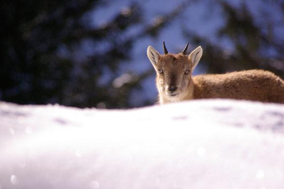 Merlet en hiver