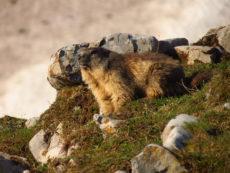 Au secours de Cracotte la marmotte